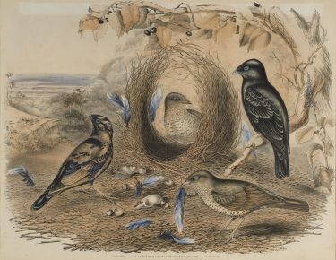 Elizabeth Gould  John Gould  Charles Joseph Hullmandel  'Ptilonorhynchus Holosericeus'  n.d. lithograph sheet: 54.5cm (height) x 69.5cm (width) mount: 101.3cm (height) x 73.5cm (width) The University of Melbourne Art Collection. Gift of the Society of  Collectors 1951 1951.0003